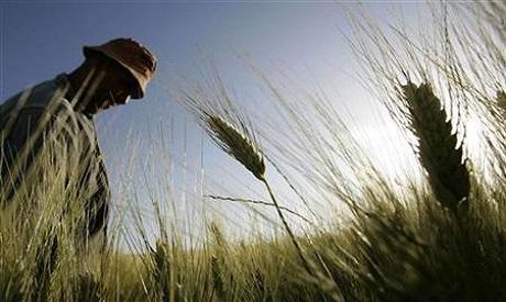 Algerian wheat
