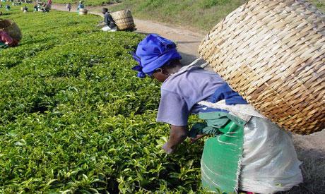 Uganda Tea