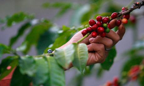 Coffee bean bush