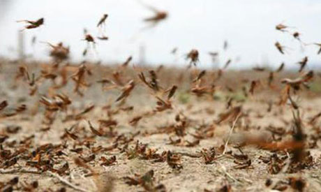 Swarms of locusts seen descending on Cairo