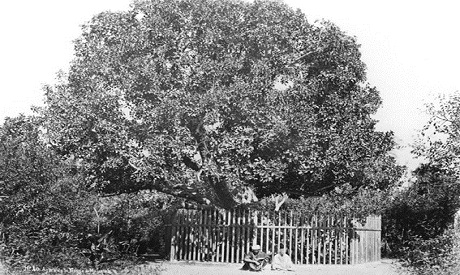 Virgin Mary's tree in Matariya