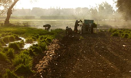 Farmers harvest rice