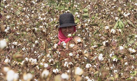 A farmer picks cotton on a farm in Qaha