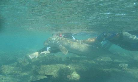 Baby dugong