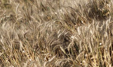 File Photo: Wheat
