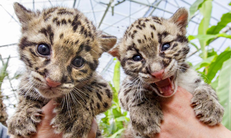 Baby clouded leopards