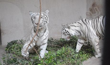 Two Siberian tigers