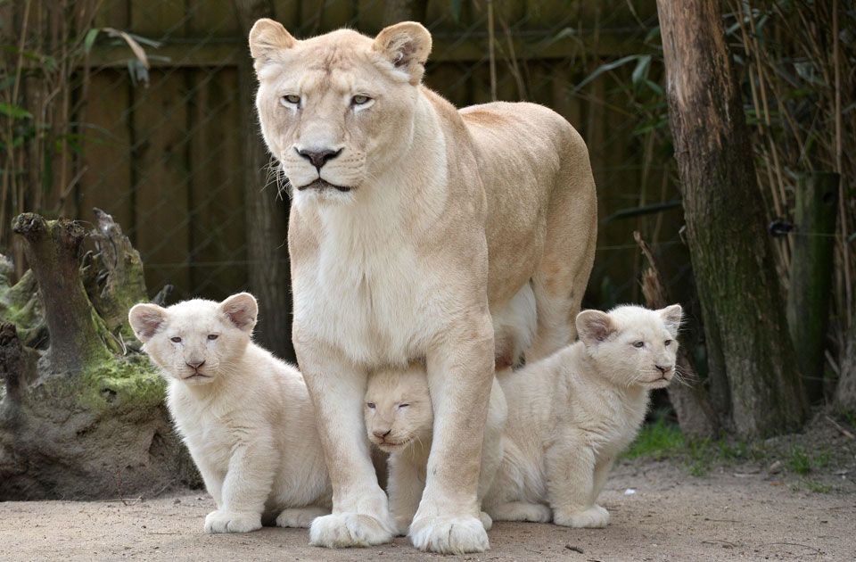 photo gallery lions nikita and yabu love their 3 months old baby cubs multimedia ahram online. Black Bedroom Furniture Sets. Home Design Ideas