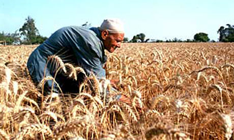 Egyptian wheat harvest season begins in April and lasts until July. (Photo: Ahram file)