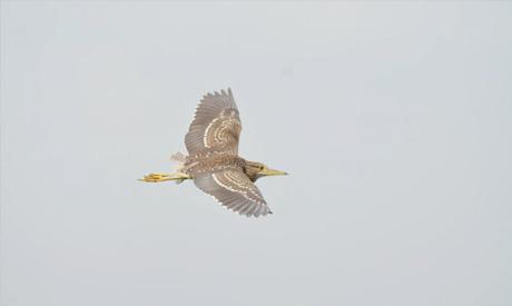 The American Golden Heron bird (Photo: Ayman Brayz)