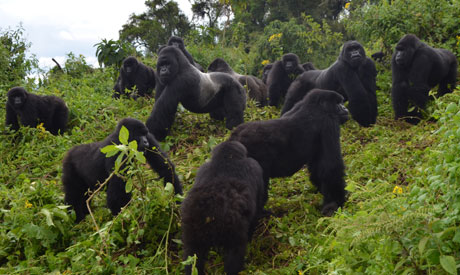 This 2014 photo provided by the Dian Fossey Gorilla Fund shows a group of mountain gorillas in Rwand