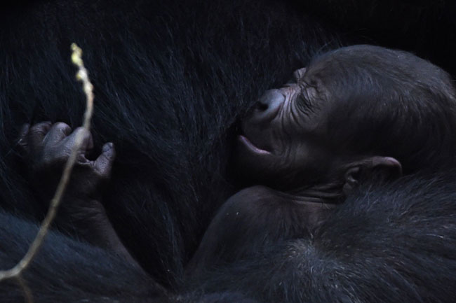 A newborn gorilla rests in her mother