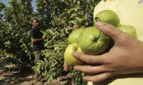 Bahrain lifts ban on Egyptian guava imports - Economy