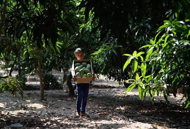 PHOTO GALLERY: Egyptian farmers harvest mangoes in Giza Governorate