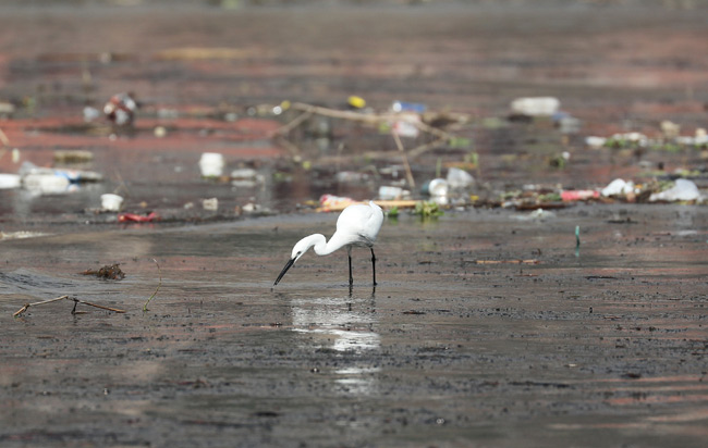 A cattle egret drinks water in the Nile River, in Cairo, Egypt February 10, 2019. (Reuters)