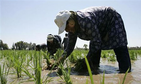 A laborer transplants rice seedlings in a paddy field in the Nile Delta town of Kafr Al-Sheikh, nort