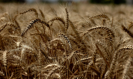photo:Wheat