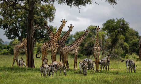 A giraffes and zebras congregate under the shade of a tree in the afternoon in Mikumi National Park,