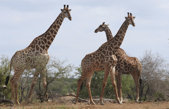 giraffe are seen in the Kriger National Park, South Africa.(AP)