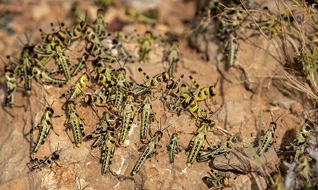 Somalia Locust