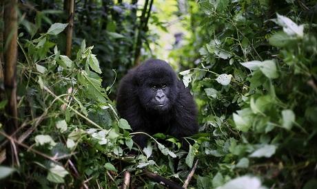 Virus Outbreak Africa Gorillas