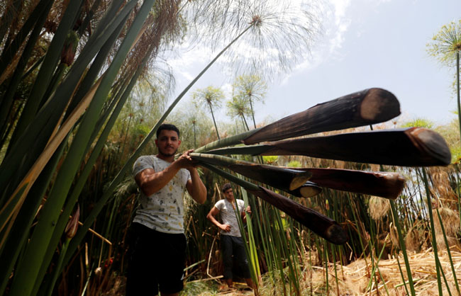 Mohamed Reda, 23, carries papyrus plants at a farm in al-Qaramous village, amid COVID-19 concerns in