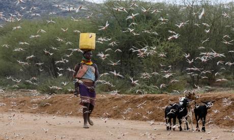 Woman walks through swarm of desert locusts in Kenya