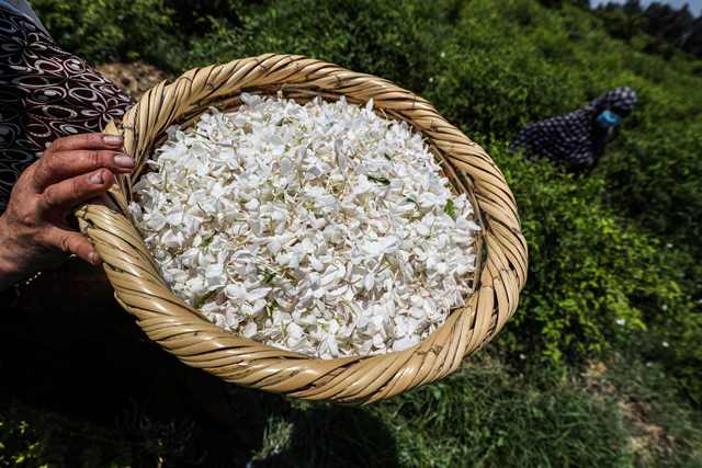 A worker holds a wicker basket filled with harvested jasmine flowers in a field at the village of Sh