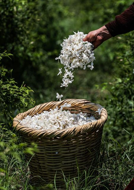 A worker throws a handful of harvested jasmine flowers into a wicker basket at a field at the villag