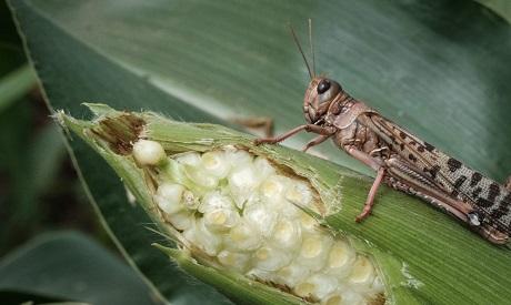 Desert Locust in Kenya