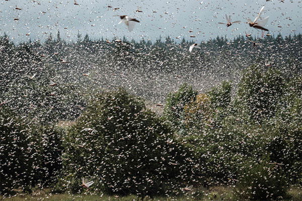 Desert locusts