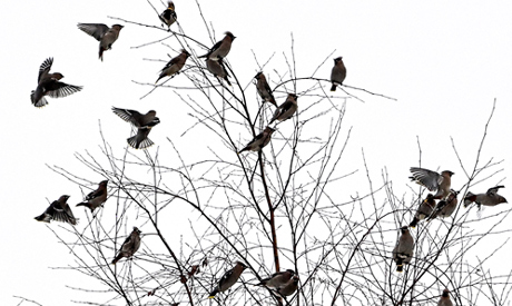 Waxwings sit on tree branches in a forest outside Moscow on February 19, 2021. AFP